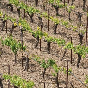 1) Καλλιέργεια αμπελιού (φωτογράφος: Μίνα Τρικάλη - ΜΦΙΚ)