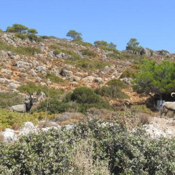 Wild cretan goats in Agioi Theodoroi