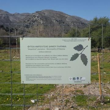 Photo from the cretan zelkova (ambelitsia) cultivation, at Omalos plateau